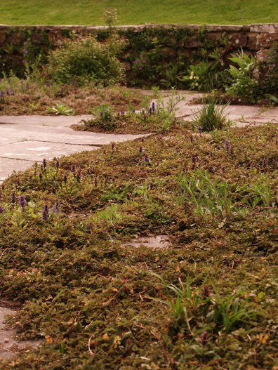 Alpines grow in paving cracks form naturalistic mats