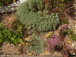 Grey, pink and purple foliage