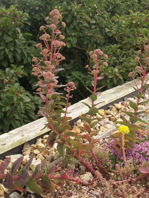 Sedums growing happily at last!