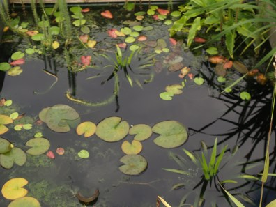 The pond in mid summer