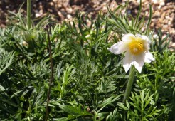 White Pasqueflower re-blooming in August