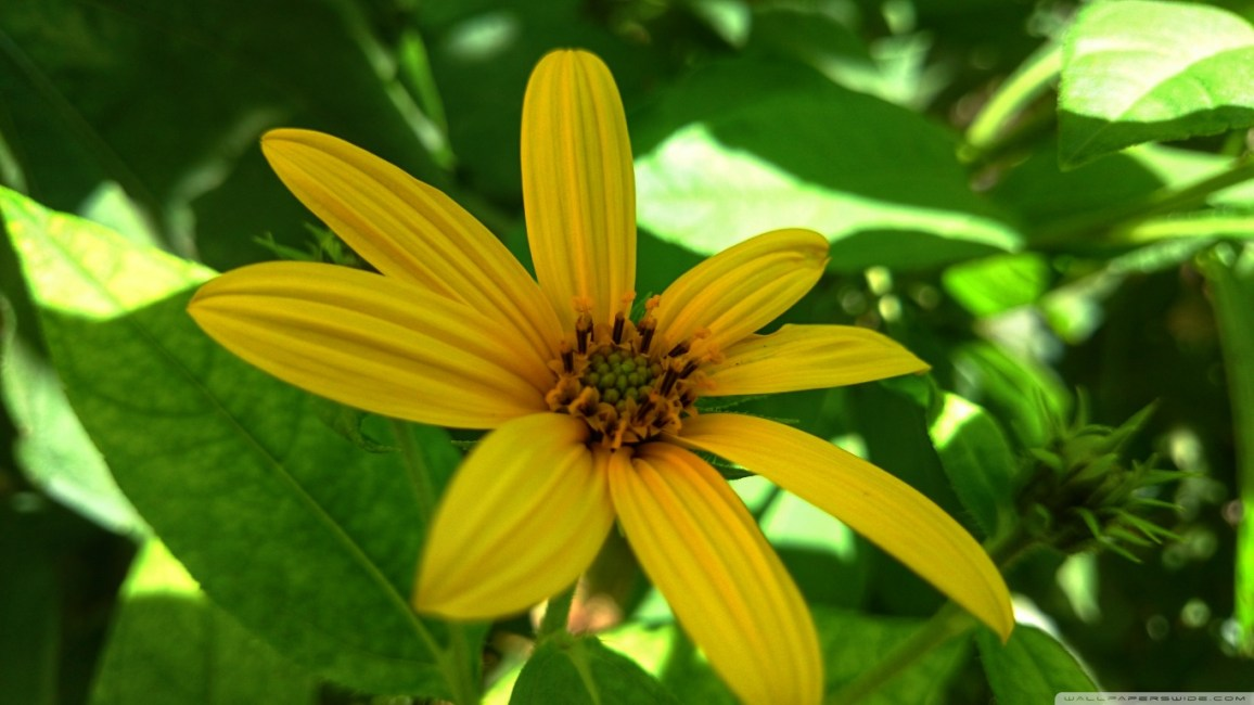 yellow_flowers_13-wallpaper-1366x768