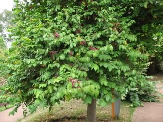 Árbol de carambola
