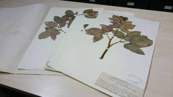 Paeonia cambessedessii herbarium sheets. Collected by Porta and Rigo, 1885