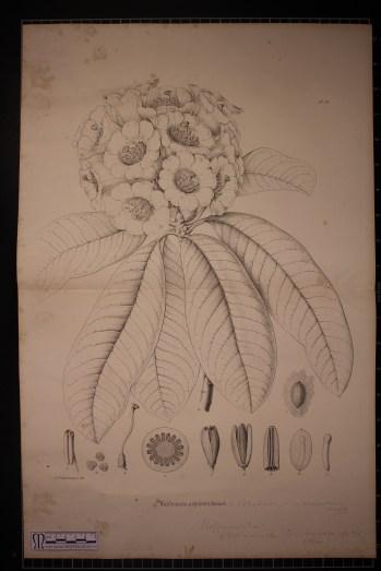 Rhododendron argenteum, Illustration
