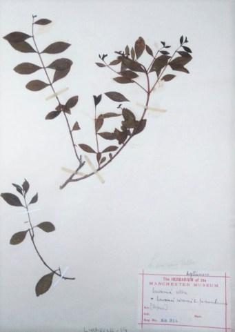 Lawsonia inermis L. specimen