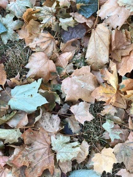Beautiful frostbitten leaves.