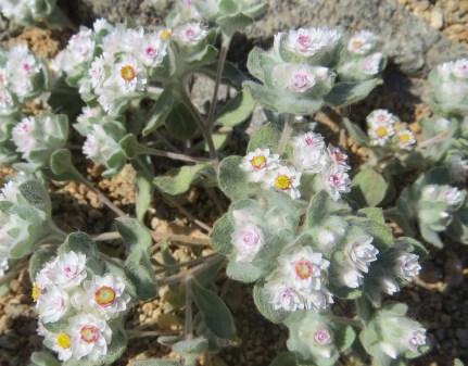 Helichrysum gariepinum