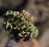 Pachypodium namaquanum (halfmens) flower