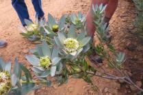 Leucadendron loranthifolium