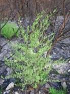 Asparagus rubicundus