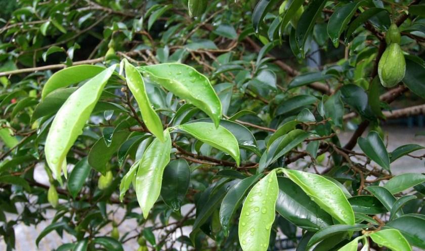 Agarwood Tree
