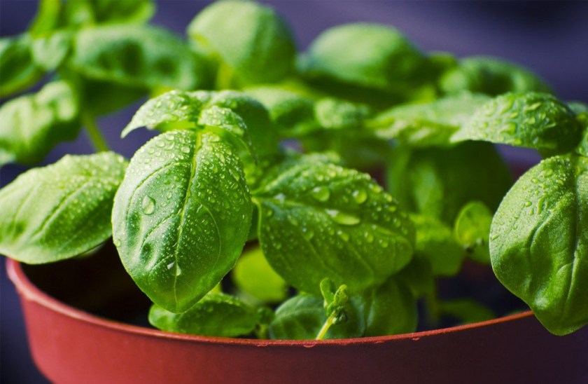 Basil benefits for health