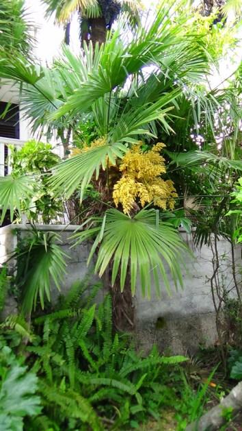 Trachycarpus excelsa 3