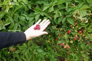 【澳洲遊記】Sorell Fruit Farm .::觀光果園採水果記(櫻桃莓子季)::.