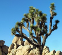 Joshua Tree near Cap Rock