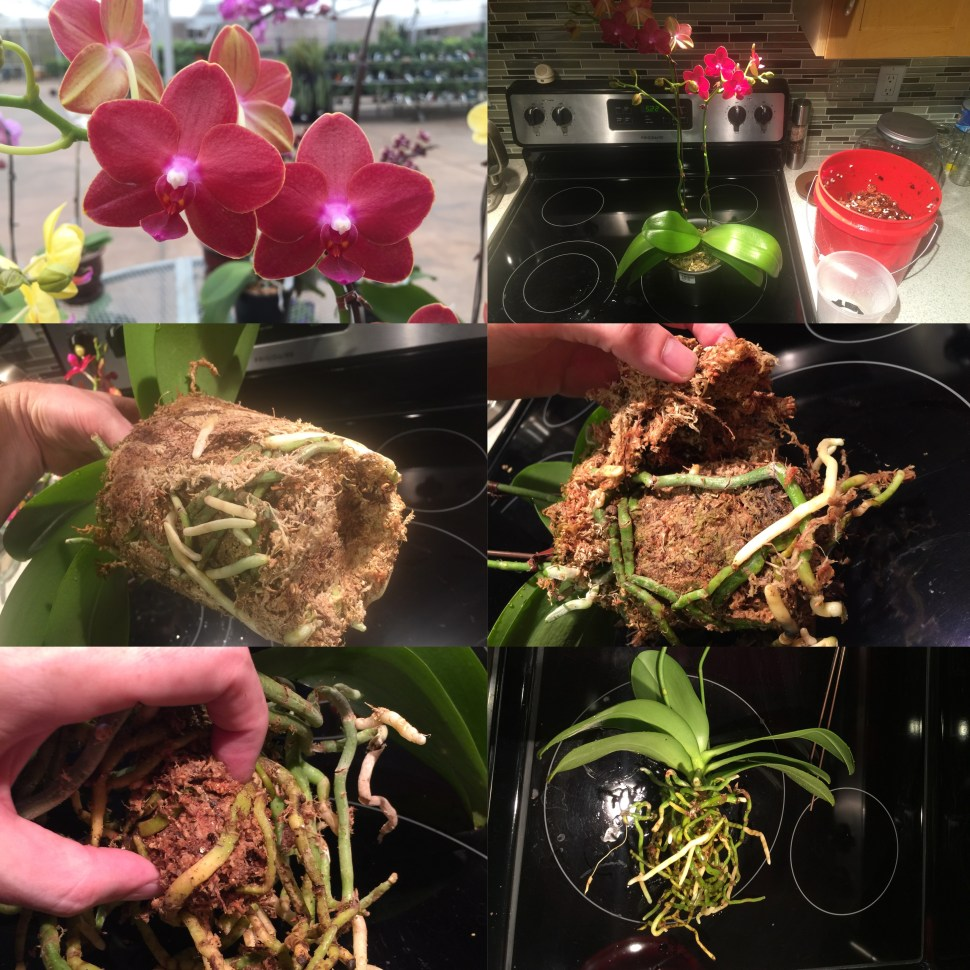 Photo sequence of repotting a Phalaenopsis Orchid