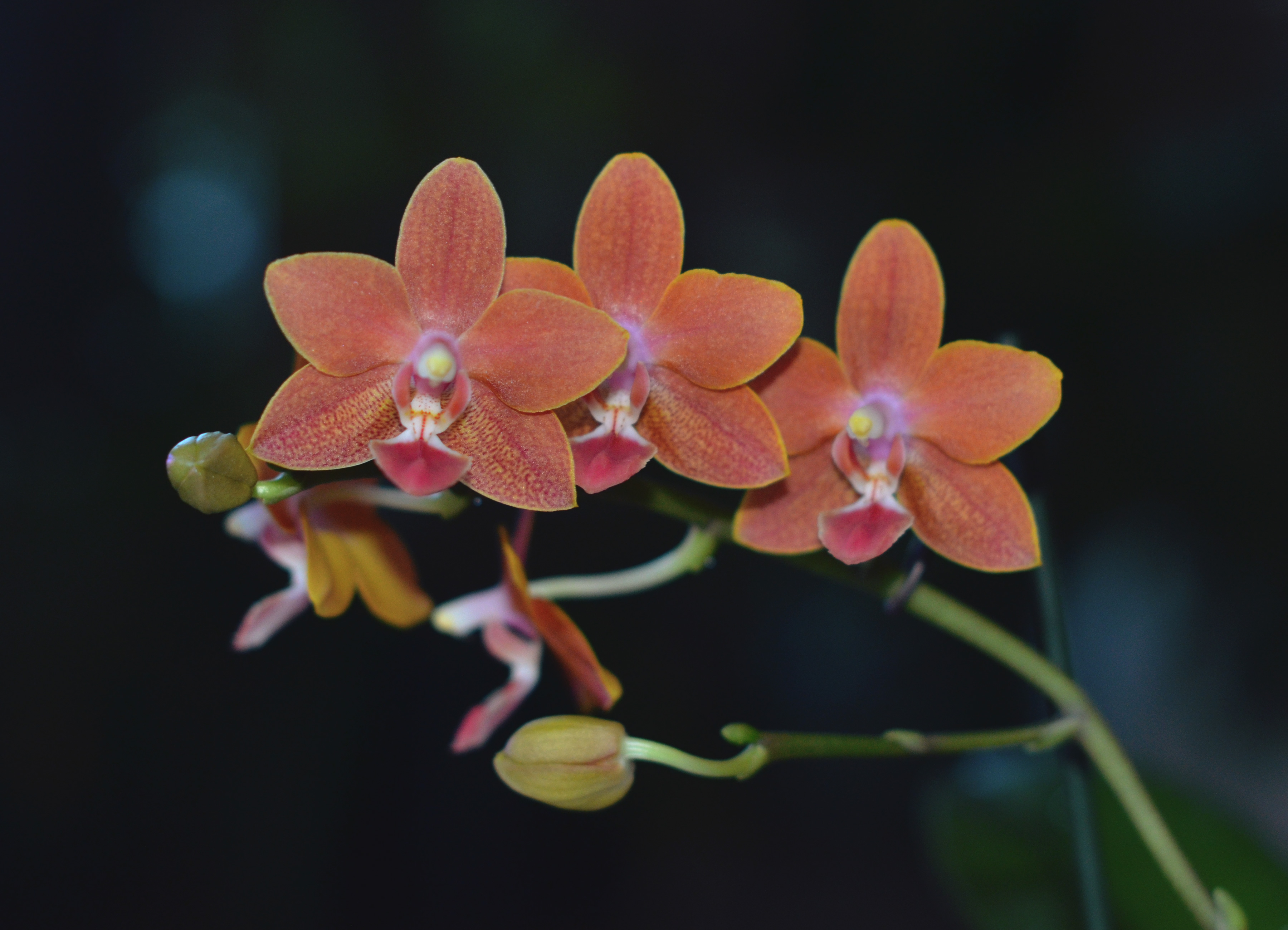 Phalaenopsis Care Culture And Tips To Keep Your Orchid Reblooming