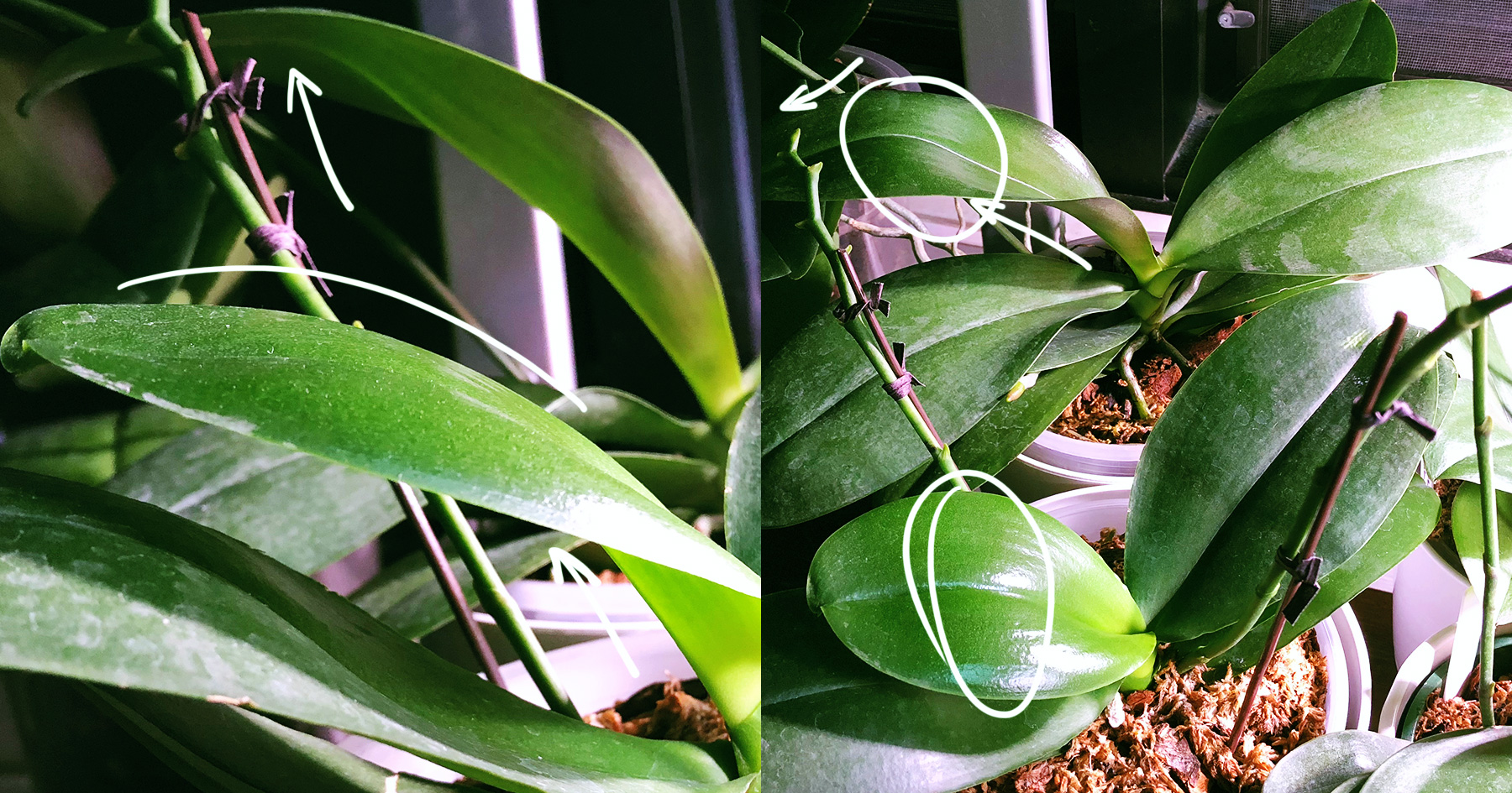 Flimsy Floppy Thin Phalaenopsis Leaves What Gives Here But Not
