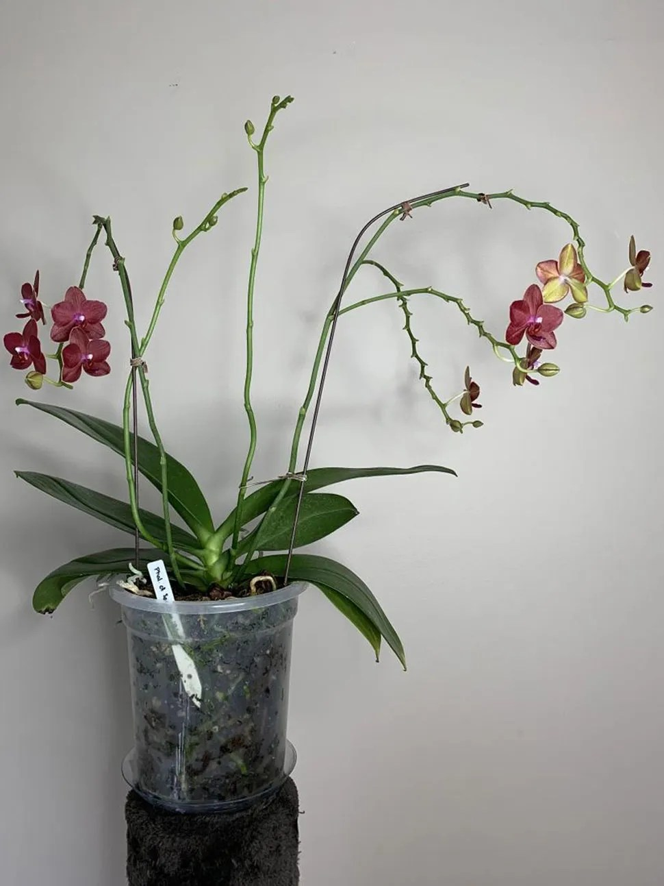 6 Reasons You Shouldn T Cut Old Spikes On A Phalaenopsis Here
