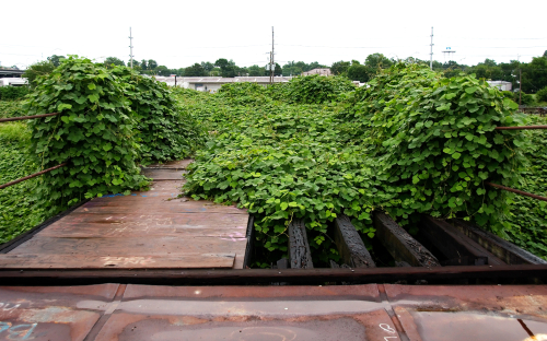 Kudzu growing in Mississippi