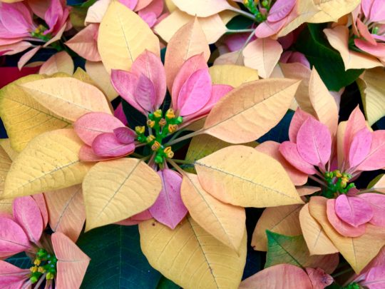 New Hybrids Promise To Rock Your Poinsettia World Here By Design