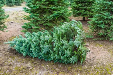 chr tree cut down