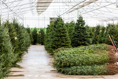 chr trees piled