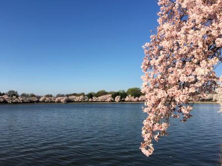Cherry tree branch in full bloom in Washington, DC.