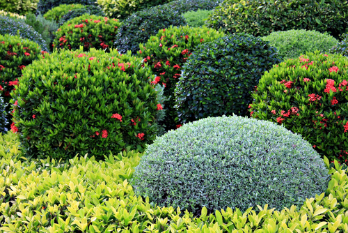 Boxwood and azaleas have different soil requirements
