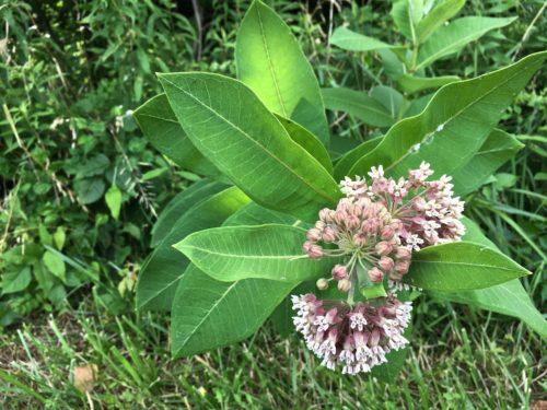 Common milkweed growing along the Chesapeake Bay