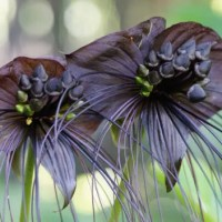 Ten Really Great (Almost) Black Flowers To Plant In Your Garden