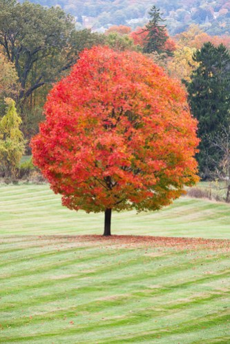 sugar-maple-image