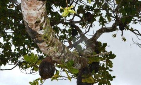 squamellaria-in-macaranga-tree