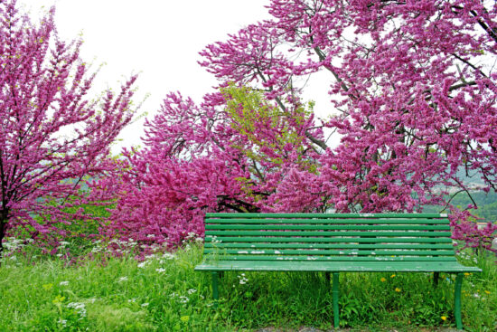 redbud tree and green bench