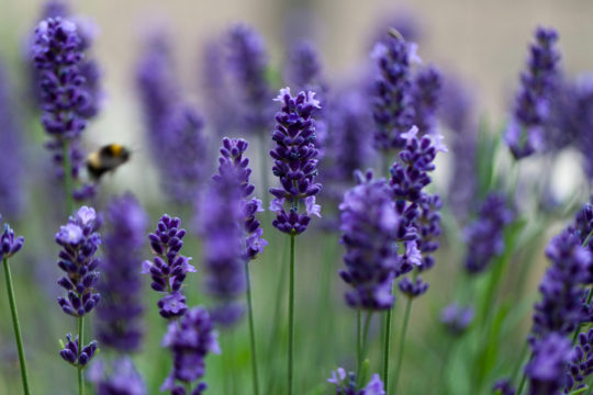 How To Successfully Grow Lavender: A Maryland Expert Weighs In