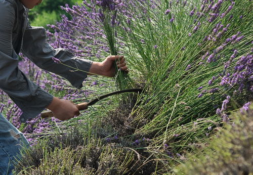 Growing cutting back lavender