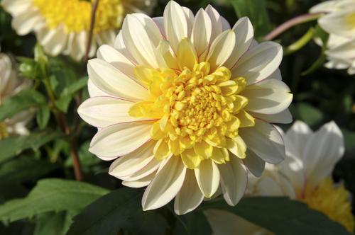 anemone dahlia 'Polka'