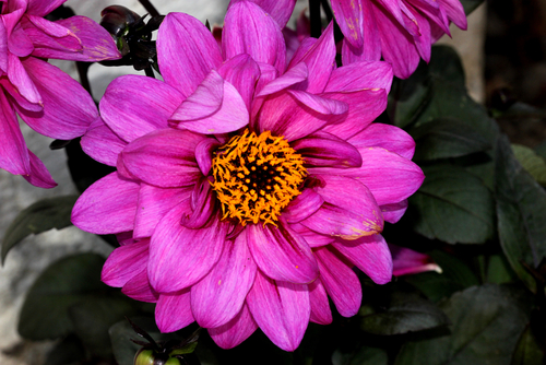 decorative dahlia 'Lisa Dark Pink'