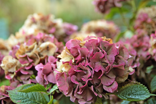Pruning Hydrangeas A Step By Step Guide For Old And New Wood Here By Design
