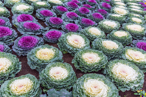 Pigeon series flowering kale