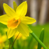 A Beginner's Guide To 13 Types of Daffodils