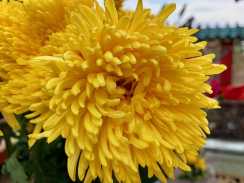 Vietnamese Tet: The Top Lucky Plants And Flowers - Here By ...