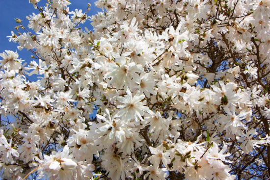 Why Star Magnolia Deserves A Spot In Your Garden Here By Design