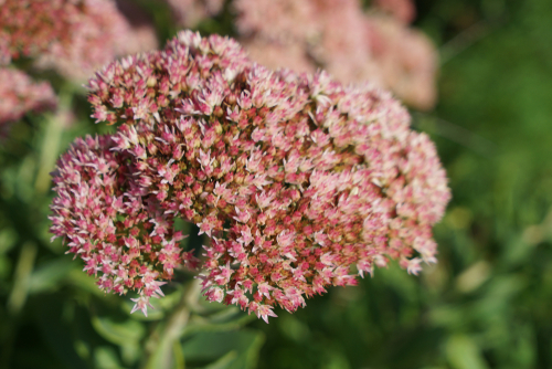 late summer flower of sedum autumn joy