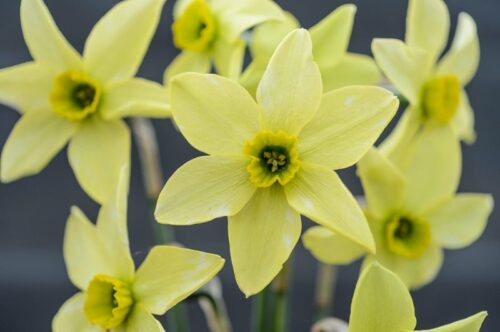 Mesa Verde daffodil at the RHS SHow
