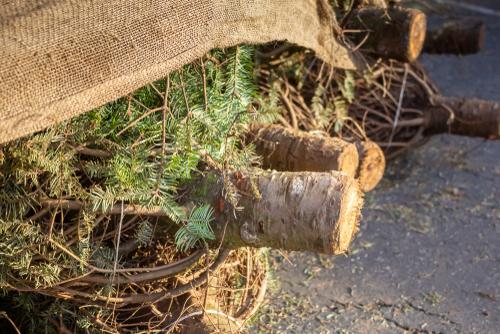 cut Christmas tree trunks