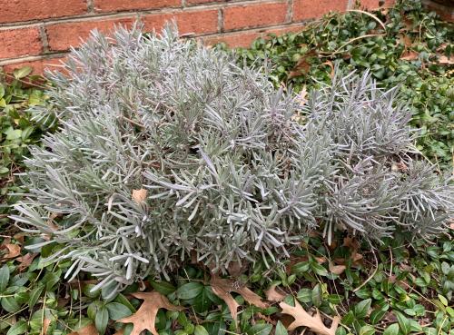 Phenomenal lavender foliage in winter