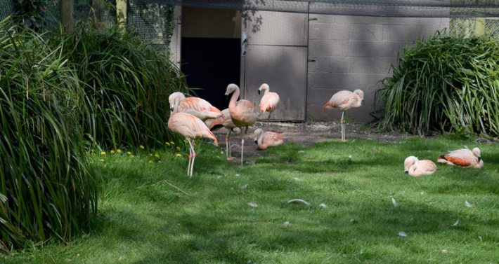 Drayton Manor Flamingos
