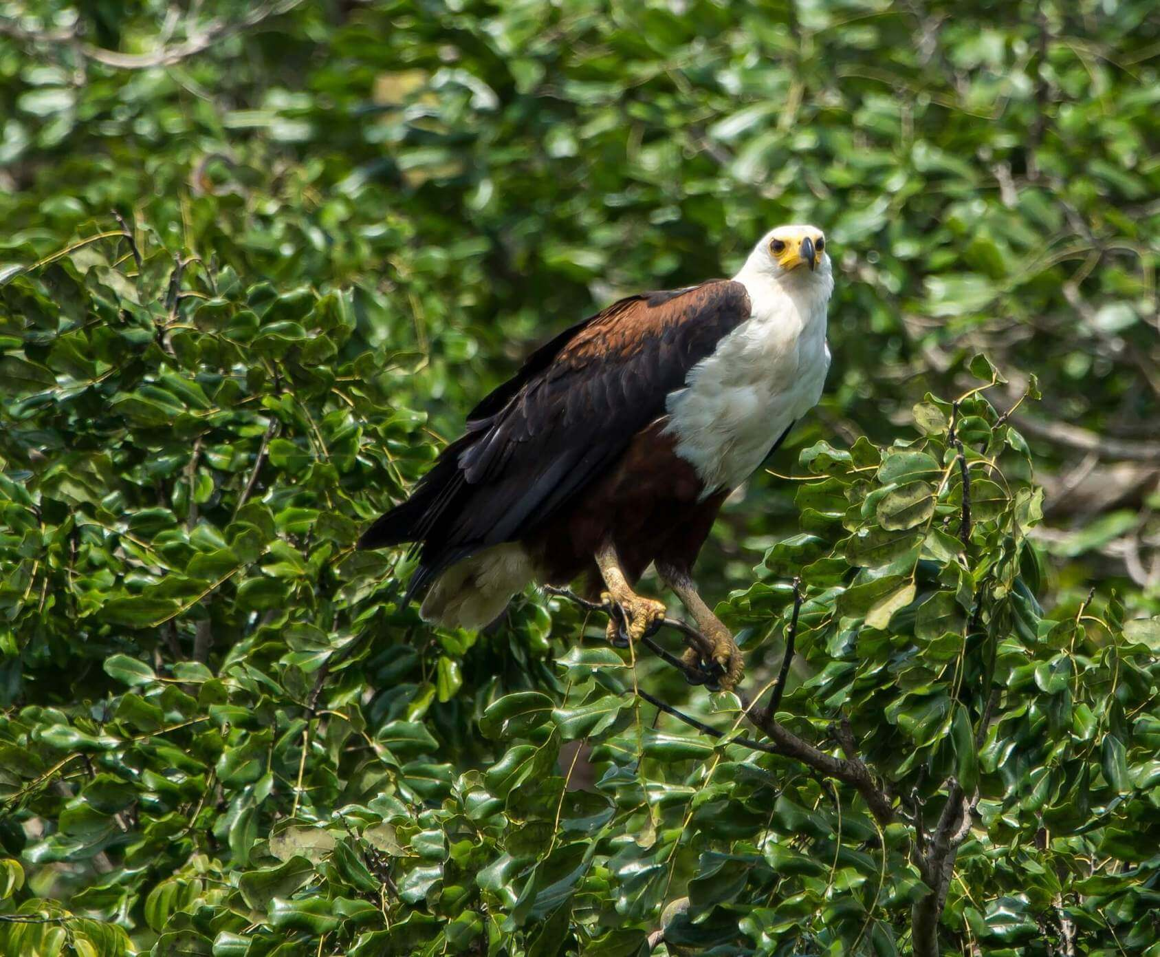African Fish Eagle - Shimba Hills National Reserve